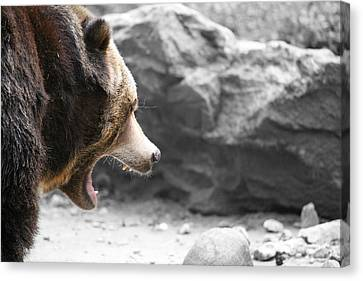 Angry Grizz Canvas Print by Karol Livote