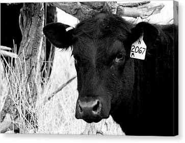 Angus Cow In Black And White Canvas Print by Tam Graff