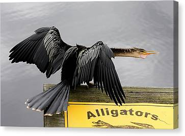Anhinga Looking For Alligators Canvas Print by Paulette Thomas