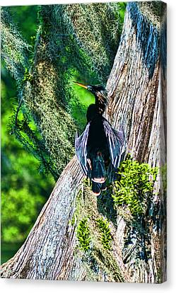 Anhinga On A Cyprus Canvas Print by Frank Feliciano