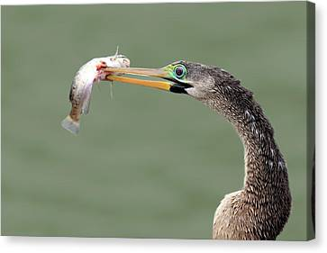 Anhinga Spearing Fish Canvas Print