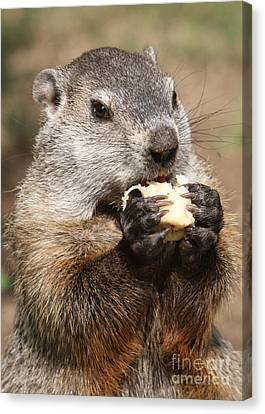 Animal - Woodchuck - Eating Canvas Print by Paul Ward