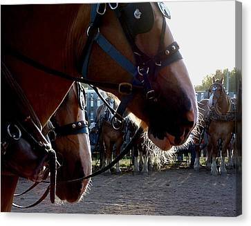 Animals Draft Horse Pull Canvas Print