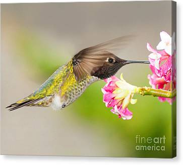 Canvas Print featuring the photograph Anna Hummingbird by Jack Moskovita