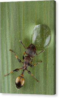 Ant Drinking From Water Droplet Papua Canvas Print by Piotr Naskrecki