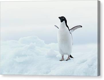 Antarctica, Adelie Penguin (pygoscelis Adeliae) On Iceberg Canvas Print by Joseph Van Os