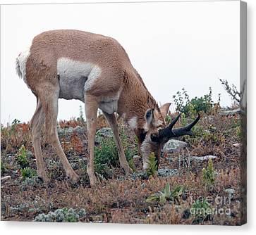 Antelope Grazing Canvas Print by Art Whitton