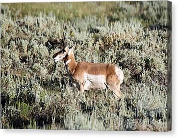 Antelope In Lamar Valley Canvas Print