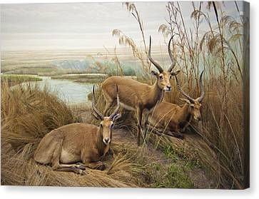 Antelope In The Grass Near The River Canvas Print by Laura Ciapponi