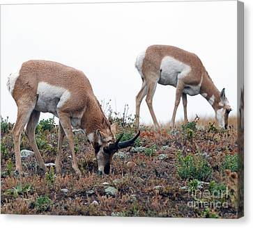 Antelopes Grazing Canvas Print by Art Whitton