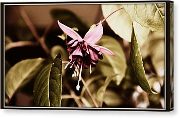 Canvas Print featuring the photograph Antiqued Fuchsia by Jeanette C Landstrom
