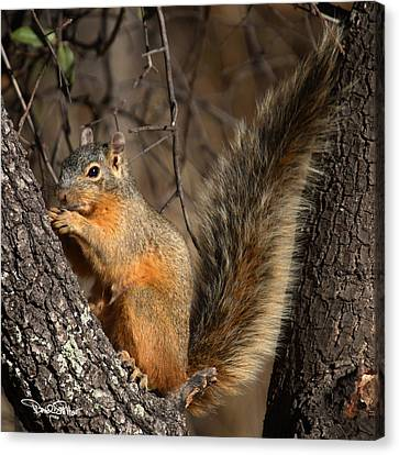 Apache Fox Squirrel Canvas Print by David Salter