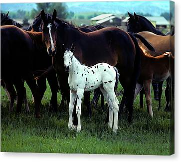 Appaloosa Foal White Spotted Canvas Print by John Brink