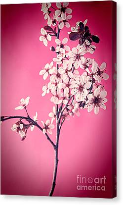 Apple Blossoms Canvas Print by HD Connelly
