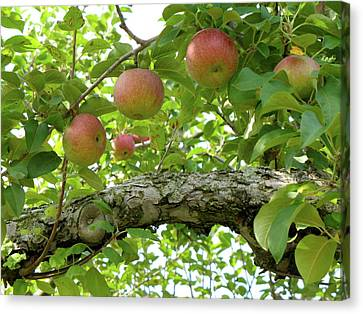 Macintosh Apples Canvas Print by Lynn-Marie Gildersleeve