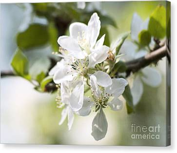 Apple Tree Flowers Canvas Print
