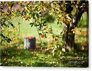 Apple Tree Canvas Print by Kati Molin