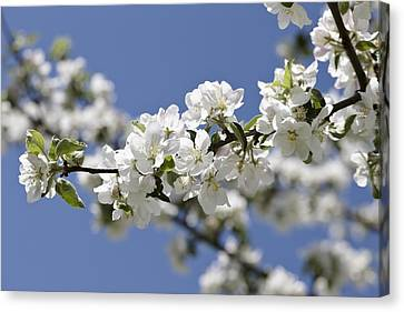 Apple Trees In Full Bloom Canvas Print by Wilfried Krecichwost