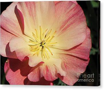 Canvas Print featuring the photograph Appleblossom California Poppy by Michele Penner