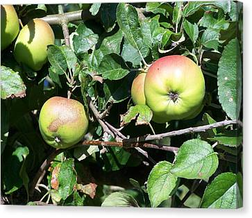 Apples Canvas Print by Steve Huang