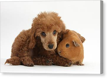 Cavy Canvas Print - Apricot Miniature Poodle Pup With Red by Mark Taylor