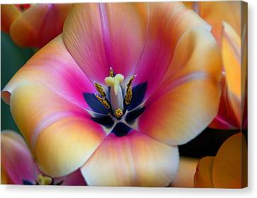 Apricot Or Not Canvas Print by Dick Jones