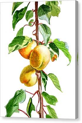 Apricots Canvas Print by Irina Sztukowski
