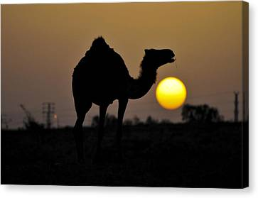 Arabian Camel Canvas Print by Photostock-israel