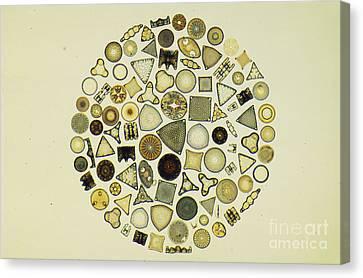 Arrangement Of Diatoms Canvas Print by M. I. Walker