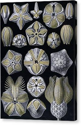 Artforms Of Nature Canvas Print by Ernst Haeckel
