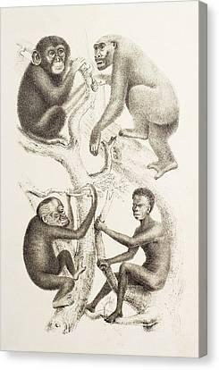 Genealogy Canvas Print - Artwork Of Four Apes, 1874 by Mehau Kulyk