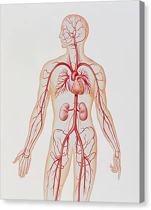 Artwork Of Human Arterial System Canvas Print by John Bavosi