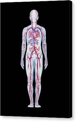 Artwork Of Human Blood Circulation Canvas Print by John Bavosi
