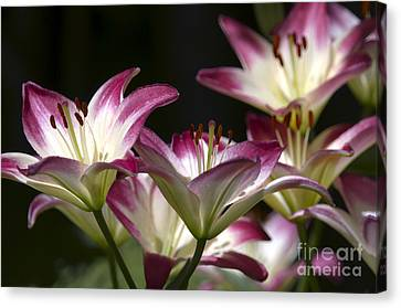 Asiatic Lilies Canvas Print by Sharon Talson