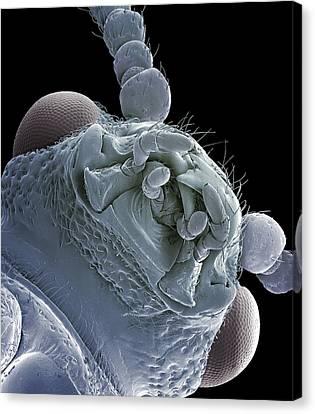 Asparagus Beetle, Sem Canvas Print by Steve Gschmeissner