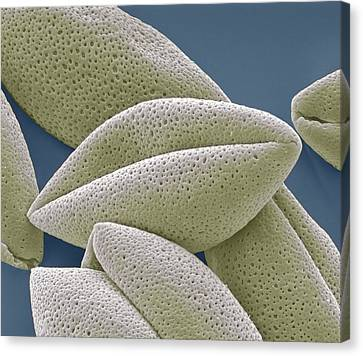 Asparagus Pollen Grains, Sem Canvas Print by Steve Gschmeissner