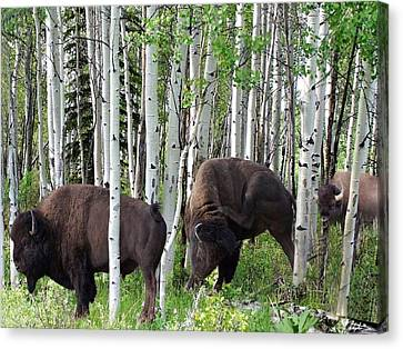 Aspen Bison Canvas Print by Bill Stephens