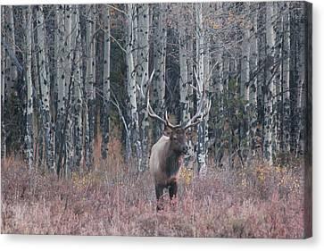 Aspen Elk Canvas Print by David Wilkinson