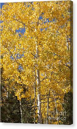 Aspen Gold Canvas Print by Marta Alfred