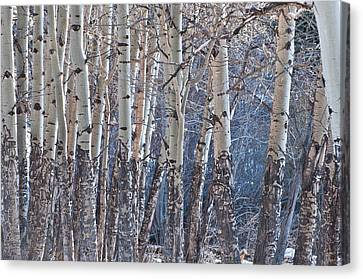 Aspen Grove Canvas Print by Colleen Coccia