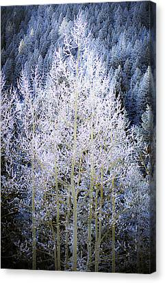 Aspen Lace Canvas Print by Beth Riser