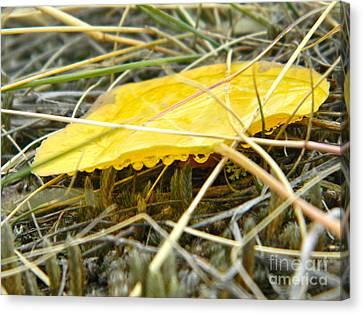 Aspen Leaf After The Rain Canvas Print by Sara  Mayer