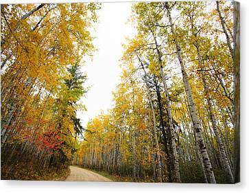 Aspen Tree In Autumn In Meadow Lake Park Saskatchewan Canvas Print by Mark Duffy