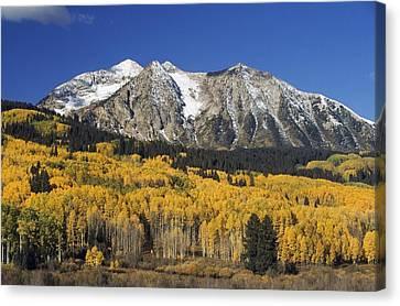 Aspen Trees In Autumn, Rocky Mountains Canvas Print by David Ponton