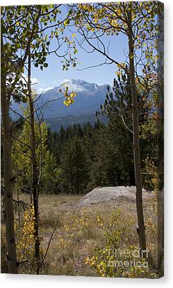 Aspens Around Pikes Peak Canvas Print by Marta Alfred