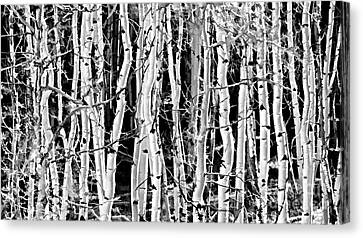 Canvas Print featuring the photograph Aspens by Clare VanderVeen