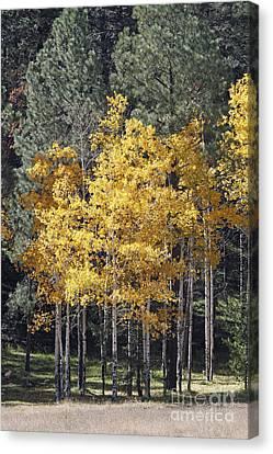 Aspens In Color Canvas Print