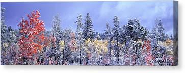 Aspens In Fall With Snow, Near 100 Mile Canvas Print by David Nunuk