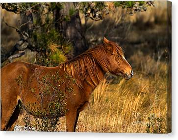 Assateague Wild Pony Canvas Print by Ursula Lawrence