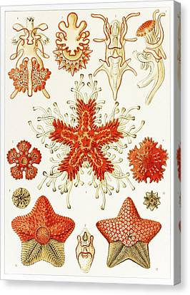 Asteroidea Organisms, Artwork Canvas Print